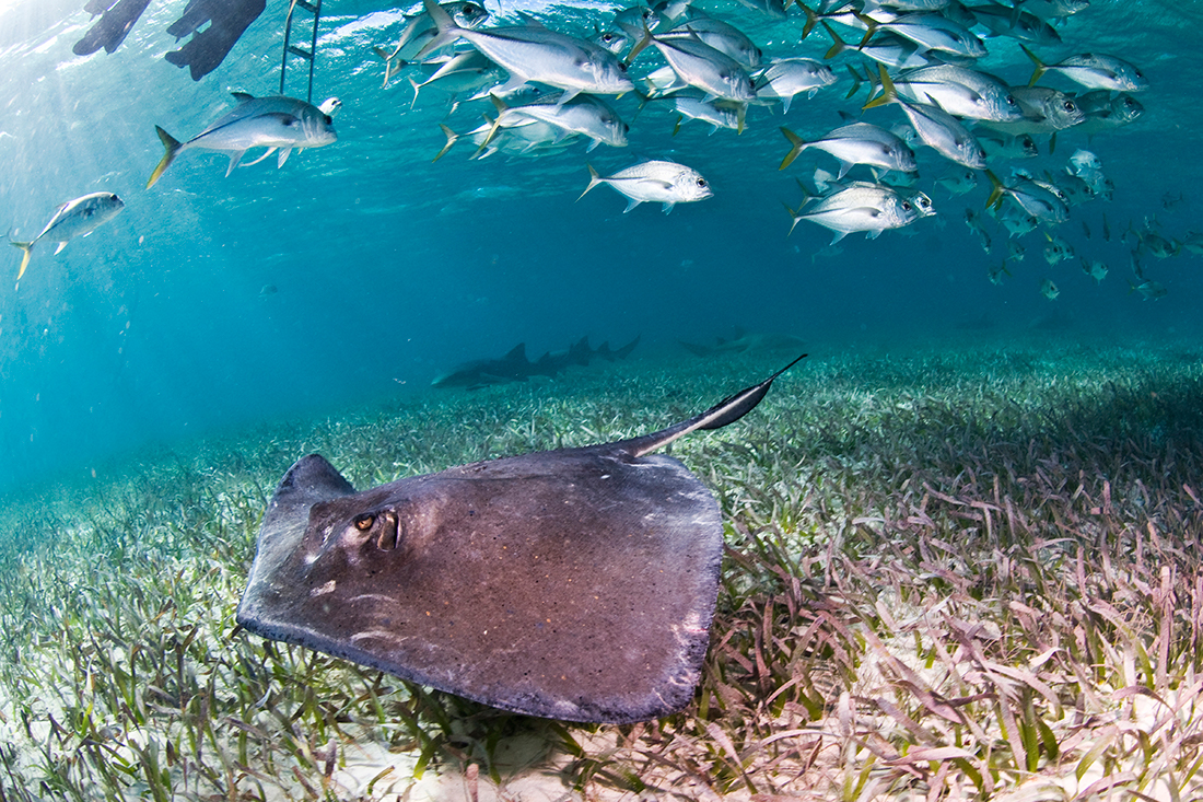 Stingray and jacks in Belize © Antonio Busiello / WWF-US