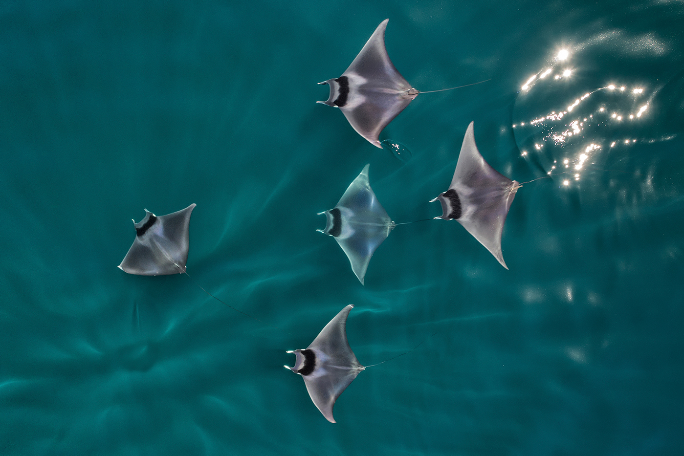 Spinetail devil rays © naturepl.com / Mark Carwardine / WWF