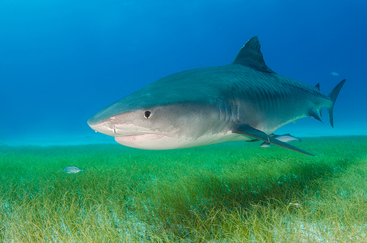 Tiger shark swimming over a seagrass meadow © Marion Kraschl / Shutterstock