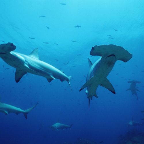 As the study revealed, hammerhead sharks – such as Scalloped hammerhead – declined in Malaysia. © naturepl.com  / Doug Perrine / WWF