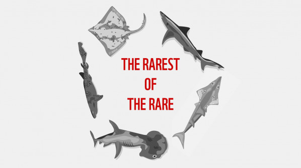 The Rarest of the Rare - five sharks and rays on the brink of extinction