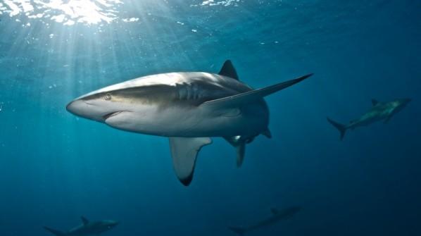 WWF Sharks   Latest News   Shark and Ray Protection News