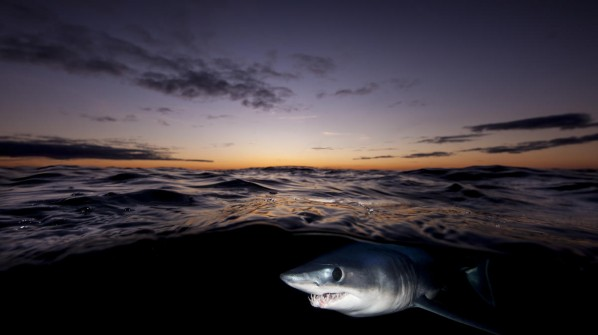 Shortfin mako shark © naturepl.com / Richard Robinson / WWF