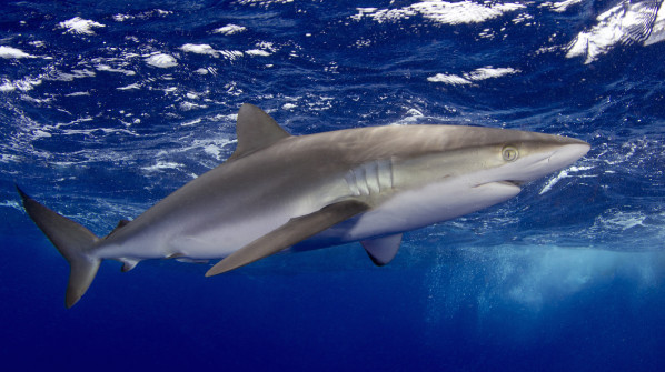 "WWF and TRAFFIC welcome CITES shark listings; <br />""now the real work begins"""