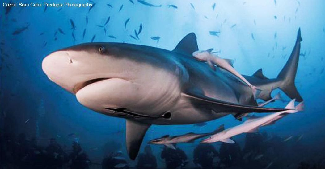 WWF Sharks | Sharks and Rays | Shark Facts