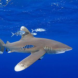 WWF Sharks | Sharks and Rays | Shark Facts
